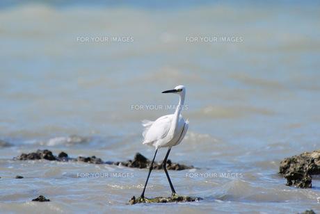 満潮時の白鷺の素材 [FYI00370333]