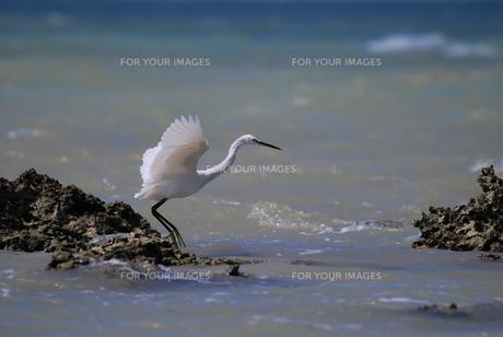 満潮時の白鷺の素材 [FYI00370339]