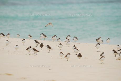 羽根を休める千鳥の群れの素材 [FYI00370457]