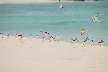 羽根を休める千鳥の群れの素材 [FYI00370467]