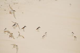 羽根を休める千鳥の群れの素材 [FYI00370473]