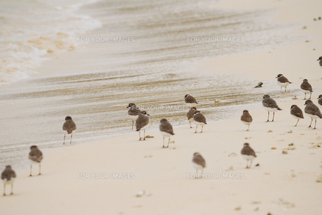 羽根を休める千鳥の群れの素材 [FYI00370475]