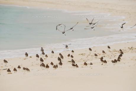 羽根を休める千鳥の群れの素材 [FYI00370481]