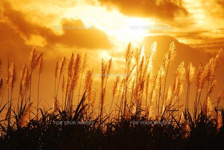 黄昏時のキビ畑の素材 [FYI00370517]