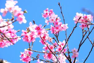 宮古島/寒緋桜の素材 [FYI00370541]