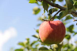 青森りんごの写真素材 [FYI00376940]