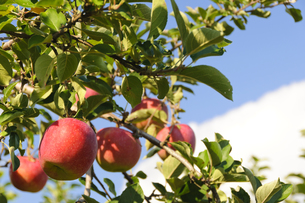 青森りんごの写真素材 [FYI00376942]