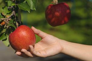 青森りんごの写真素材 [FYI00376945]