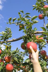 青森りんごの写真素材 [FYI00376952]