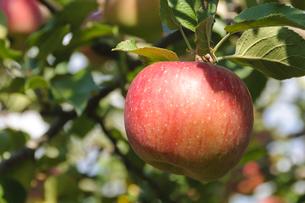 青森りんごの写真素材 [FYI00376957]