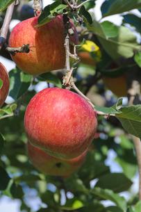 青森りんごの写真素材 [FYI00376964]