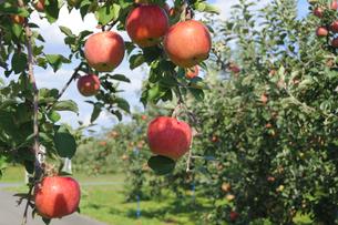 青森りんごの写真素材 [FYI00376965]