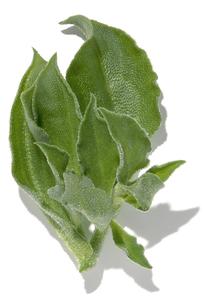 おもしろ野菜・アイスプラントの写真素材 [FYI00377078]