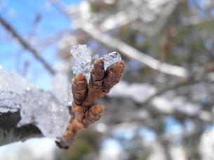 桜のつぼみ 春・雪どけ 2の写真素材 [FYI00377079]