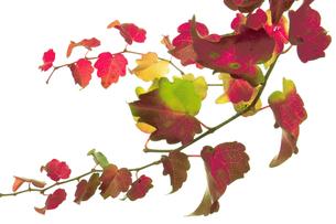 カラフルなツタの葉っぱの写真素材 [FYI00377083]