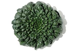 おもしろ野菜・ターツァイの写真素材 [FYI00377102]