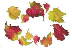 カラフルなツタの葉っぱの写真素材 [FYI00377110]