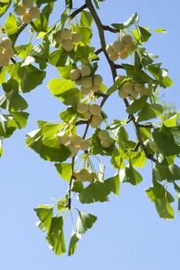 たわわに実るイチョウの枝の写真素材 [FYI00377143]