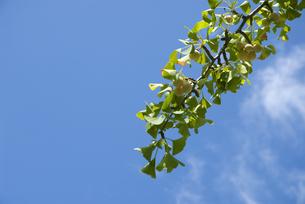 垂れ下がるイチョウの枝の写真素材 [FYI00377163]