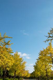 色づき始めたイチョウ並木の写真素材 [FYI00377177]
