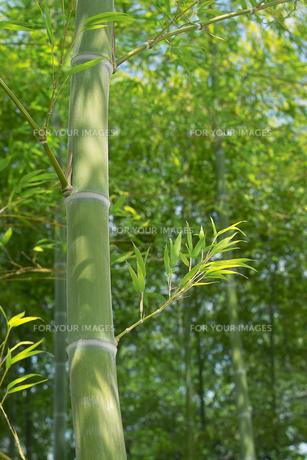 竹林の太い青竹と青笹の素材 [FYI00377231]