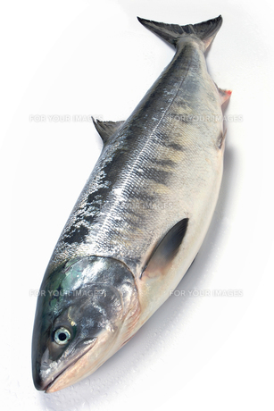 羅臼産の白鮭の素材 [FYI00377233]