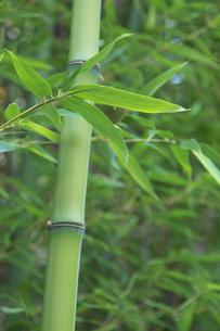 竹林の太い青竹と青笹の素材 [FYI00377235]
