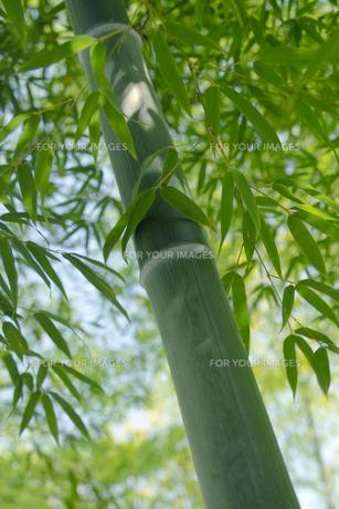 竹林の太い青竹と青笹の素材 [FYI00377237]