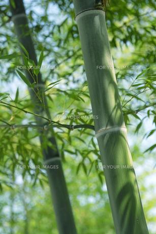 竹林の青竹の素材 [FYI00377244]