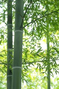 竹林の太い青竹と青笹の素材 [FYI00377249]