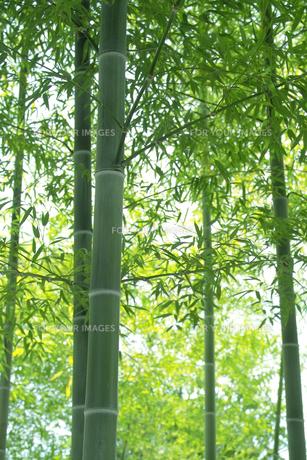 竹林の青竹と青笹の素材 [FYI00377252]