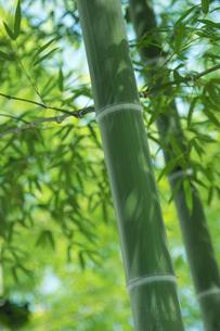 竹林の太い青竹と青笹の素材 [FYI00377254]