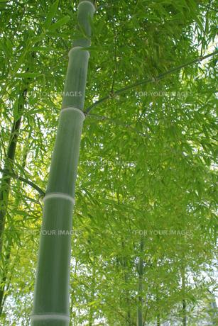 竹林の青竹と青笹の素材 [FYI00377262]