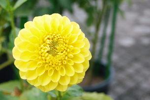 黄色いダリアの写真素材 [FYI00377304]