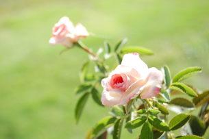 ピンクのミニバラの写真素材 [FYI00377305]