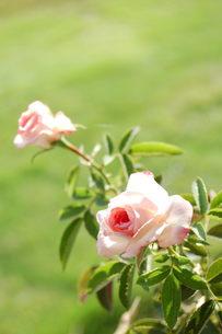 ピンクのミニバラの写真素材 [FYI00377323]