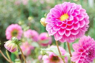 ピンクのダリアの写真素材 [FYI00377325]
