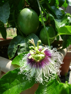 パッションフルーツの花の写真素材 [FYI00377402]
