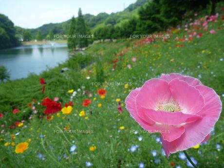 ピンク色の花のある風景の素材 [FYI00377409]