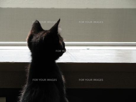 黒猫の写真素材 [FYI00377410]
