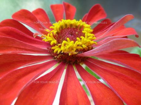 天を見上げる赤い百日草の素材 [FYI00377411]