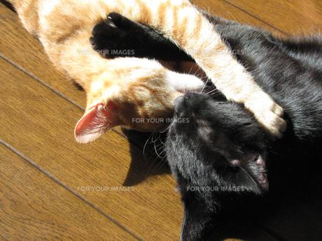抱き合うネコの写真素材 [FYI00377420]