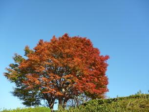 秋晴れの空に映える紅葉の木の素材 [FYI00377424]