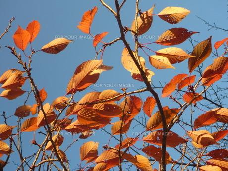 秋風に揺れる葉の素材 [FYI00377438]