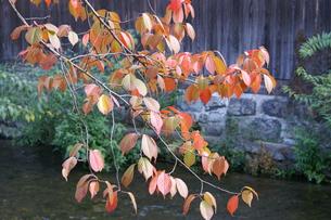 京都・祇園「紅葉」⑤の写真素材 [FYI00377646]