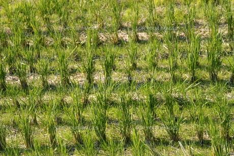 稲の刈り跡の素材 [FYI00377649]