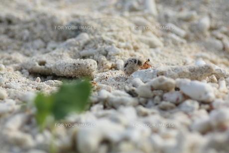やどかりと砂浜の植物の写真素材 [FYI00378013]