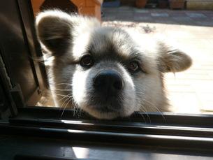 つぶらな瞳の犬の写真素材 [FYI00378055]