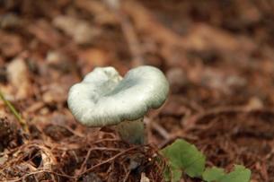 笹ヶ峰で見つけた緑のキノコの素材 [FYI00378121]