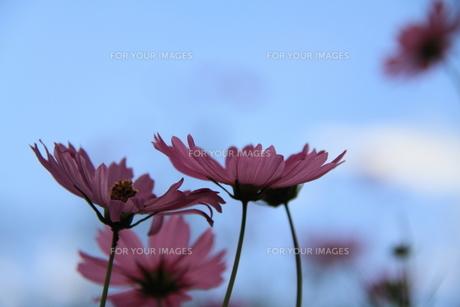 秋空に映えるコスモスの写真素材 [FYI00378122]